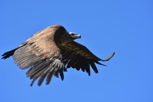 Voltor comú a Alinyà