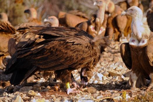 Voltor negre i voltor comú