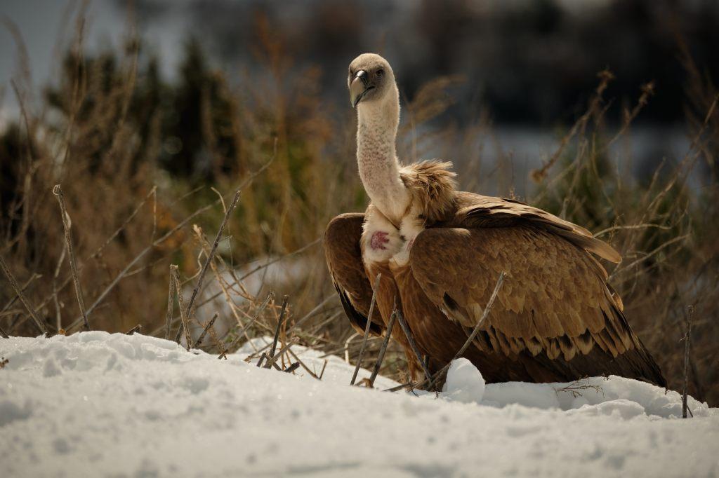 Voltor comú a la neu David Manzanera ©